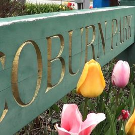 Coburn Park tulips, courtesy of Damarius Goldston