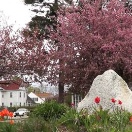 Coburn Park cherry trees, courtesy of Damarius Goldston