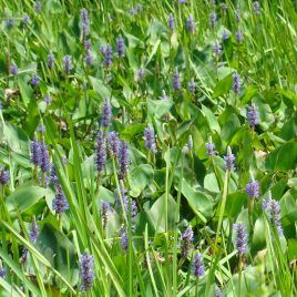 Pickerelweed, Pontederia cordata, is a summer perennial that can be found along Clay Pit Brook.  This native, edible plant produces a single stalk of violet-blue flowers 2-3 feet tall.  Leaves are heart-shaped.