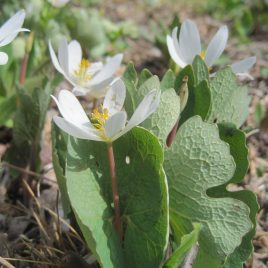 Bloodroot (bloodwort) is an ephemeral spring plant, native to New England, and emerges early in the spring.  Its single leaf unfurls to display a small white flower, which is only visible for a day or two.  It was used by North American Indians for insect repellent, dye, ceremonial pigment, and a variety of medicines, although it is known to be very toxic.