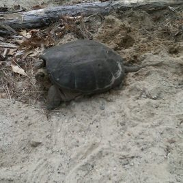 Turtle nesting at West Meadow, photo courtesy of Bruce Cote