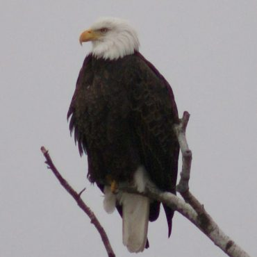 Bald Eagle - Deb Sofia