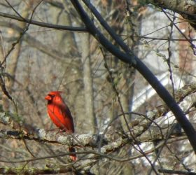 Cardinal on Concord River Greenway, courtesy of Martha Iarrapino