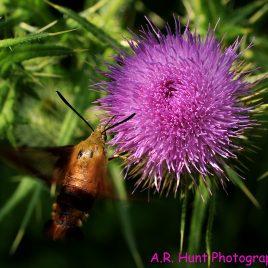 Hummingbird moth on thistle