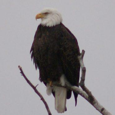 Bald Eagle - Deb Sofia